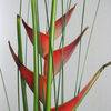 Heliconia - Lobster Claw