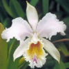 Cattleya XL Orchideen Ausstecher