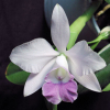 Cattleya Mini Purple